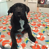 Adopt A Pet :: Destiny - Kittery, ME