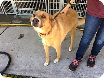 Labrador Retriever Mix Dog for adoption in Jacksonville, North Carolina - Scout