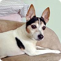 Rat Terrier Dog for adoption in Trenton, New Jersey - Lady {NJ}