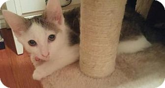 American Shorthair Kitten for adoption in Corona, California - HEATHER