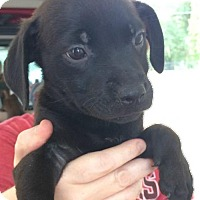 Adopt A Pet :: Fedora - Allentown, PA