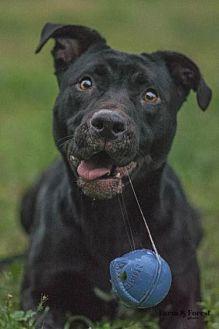 Labrador Retriever Mix Dog for adoption in Walton County, Georgia - Bennie