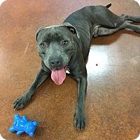 Adopt A Pet :: Niko - Scottsdale, AZ