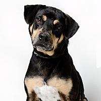 German Shepherd Dog/Beagle Mix Dog for adoption in Alexandria, Virginia - Kylo