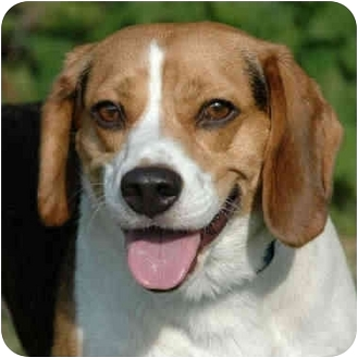Beagle Mix Dog for adoption in Westfield, New York - Nemo