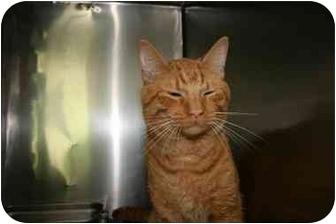 Domestic Mediumhair Cat for adoption in Saint Charles, Missouri - Baxter