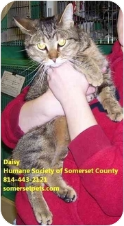Domestic Shorthair Cat for adoption in Somerset, Pennsylvania - Daisy