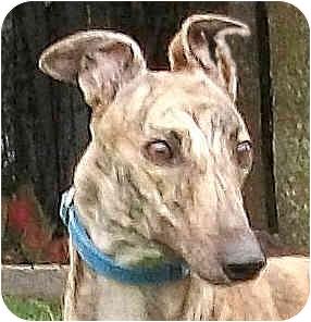 Greyhound Dog for adoption in Tampa, Florida - Kiley