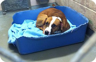 American Pit Bull Terrier/Labrador Retriever Mix Puppy for adoption in Portland, Oregon - Brownie *courtesy*