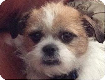 Brussels Griffon/Shih Tzu Mix Dog for adoption in Salt Lake City, Utah - BELLA
