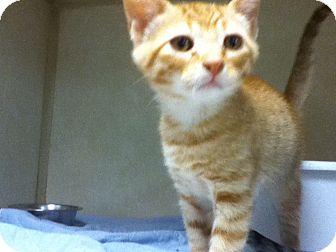 Domestic Shorthair Kitten for adoption in Dallas, Texas - Queso