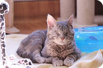 Domestic Shorthair Cat for adoption in Chicago, Illinois - Thumbkin