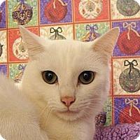 Adopt A Pet :: Snowball - Albany, NY