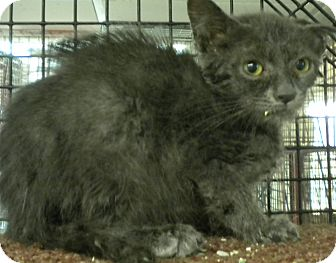 Russian Blue Kitten for adoption in Forest Hills, New York - Mooshu