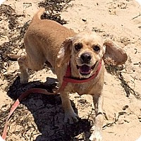 Adopt A Pet :: Thomas - New Canaan, CT