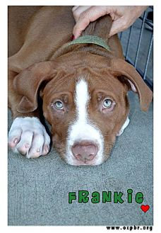 American Pit Bull Terrier Mix Puppy for adoption in La Habra, California - Frankie