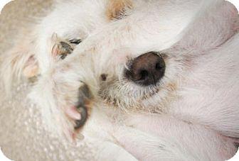 Terrier (Unknown Type, Medium) Mix Dog for adoption in Van Nuys, California - Pumpkin