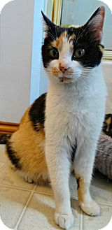 Calico Cat for adoption in Florence, Kentucky - Calico Kate-Big Bang Bunch