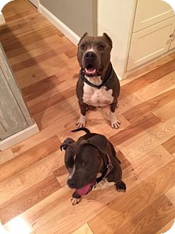 American Pit Bull Terrier Mix Dog for adoption in Lincoln, California - Moose