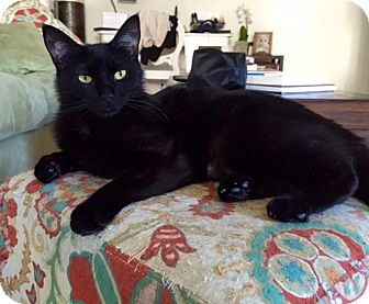 Bombay Cat for adoption in Los Angeles, California - Midnight