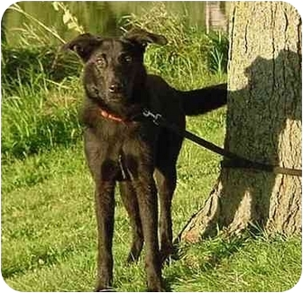 Labrador Retriever/Shepherd (Unknown Type) Mix Dog for adoption in Austin, Minnesota - Chelsey