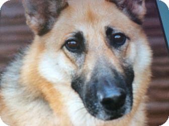 German Shepherd Dog Dog for adoption in Los Angeles, California - KIARA VON KRONACH