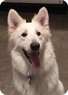 German Shepherd Dog Dog for adoption in Woodinville, Washington - Glacier
