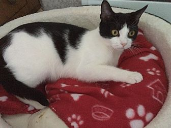 Domestic Shorthair Cat for adoption in North Haledon, New Jersey - Cookie