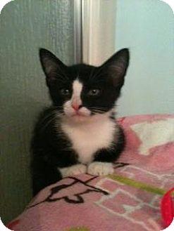 Domestic Shorthair Kitten for adoption in Fenton, Missouri - Ringo