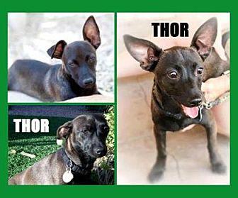 Chihuahua Mix Dog for adoption in Scottsdale, Arizona - Thor