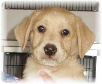 Labrador Retriever/Australian Shepherd Mix Puppy for adoption in Seattle c/o Kingston 98346/ Washington State, Washington - Davis