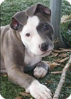 Pit Bull Terrier Mix Puppy for adoption in New Smyrna Beach, Florida - Olli