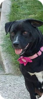 Labrador Retriever Dog for adoption in Huntington, Indiana - Maci