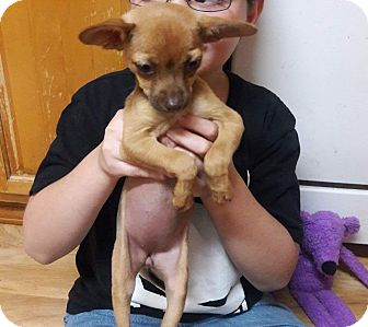 Chihuahua Mix Puppy for adoption in Lacey, Washington - Poppy