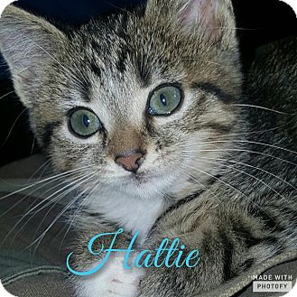 Domestic Shorthair Kitten for adoption in Cincinnati, Ohio - Hattie