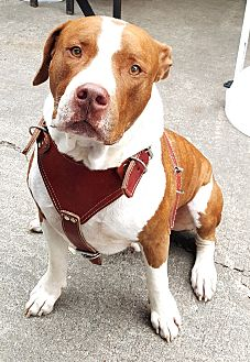 Mastiff/Staffordshire Bull Terrier Mix Dog for adoption in Houston, Texas - Zues