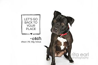 American Pit Bull Terrier/Rottweiler Mix Puppy for adoption in Los Angeles, California - Cash