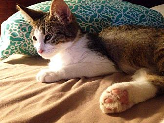 American Shorthair Kitten for adoption in McCurtain, Oklahoma - Mr.