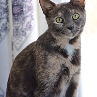 Domestic Shorthair Cat for adoption in Wayne, New Jersey - Spice