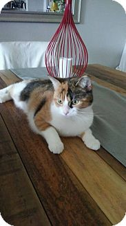 Calico Kitten for adoption in THORNHILL, Ontario - PUZZLE