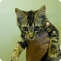 Adopt A Pet :: Shilo - Quincy, CA