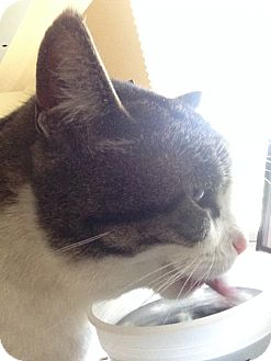Domestic Shorthair Cat for adoption in Naperville, Illinois - Benji