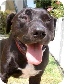 Labrador Retriever/American Staffordshire Terrier Mix Dog for adoption in El Segundo, California - Emmitt