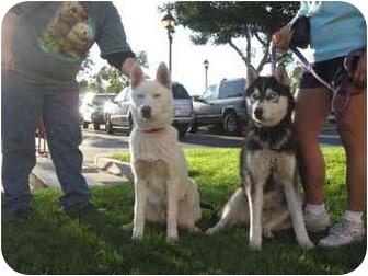 Siberian Husky Dog for adoption in Southern California, California - Maya