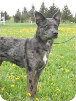 Cattle Dog Mix Dog for adoption in Chetek, Wisconsin - Joey