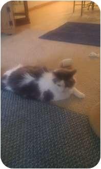 Domestic Longhair Cat for adoption in Sheboygan, Wisconsin - Raja
