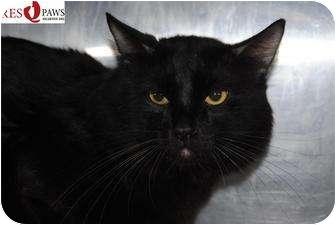 Domestic Shorthair Cat for adoption in Yuba City, California - Petunia (Unknown Age)