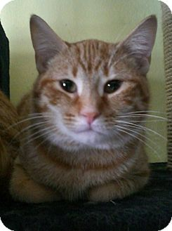 Domestic Shorthair Cat for adoption in Byron Center, Michigan - Josiah