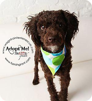 Poodle (Miniature) Dog for adoption in Omaha, Nebraska - Jasper