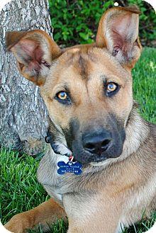 Boxer/German Shepherd Dog Mix Puppy for adoption in Denver, Colorado - Dexter